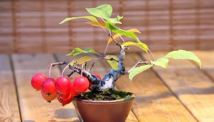 apple Tree IN A POT