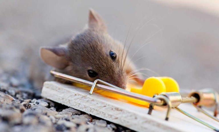 Animal-friendly mousetrap